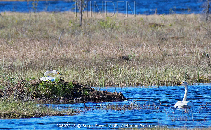 Whooper Swan (Cygnus cygnus) incubating on top of a huge nest made from surrounding aquatic vegetation, with its mate swimming nearby. Limpolo, Sirkka, Finnish Lapland, June.