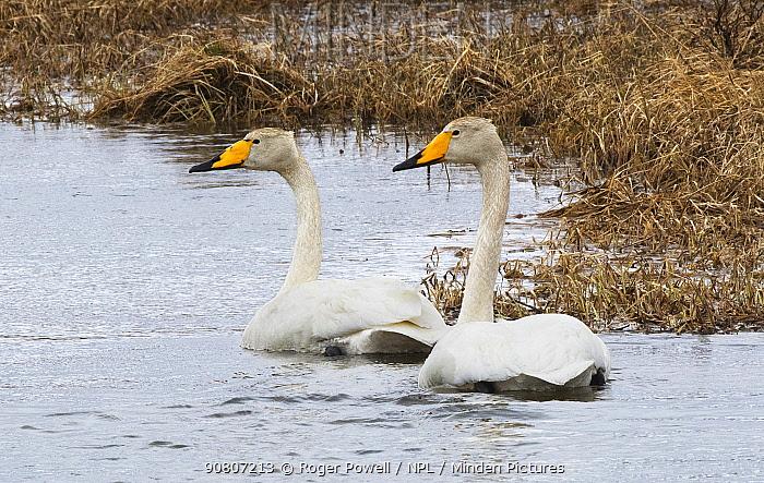 Whooper Swan (Cygnus cygnus) pair swimming in tandem, Syltefjord, Finmark, Norway, June.