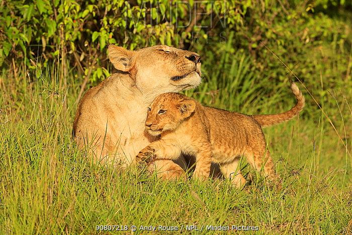 African Lion (Panthera leo) cubs age 2 months playing with mother, Masai Mara, Kenya