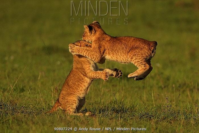 African Lion (Panthera leo) cubs age 2 months playing, Masai Mara, Kenya