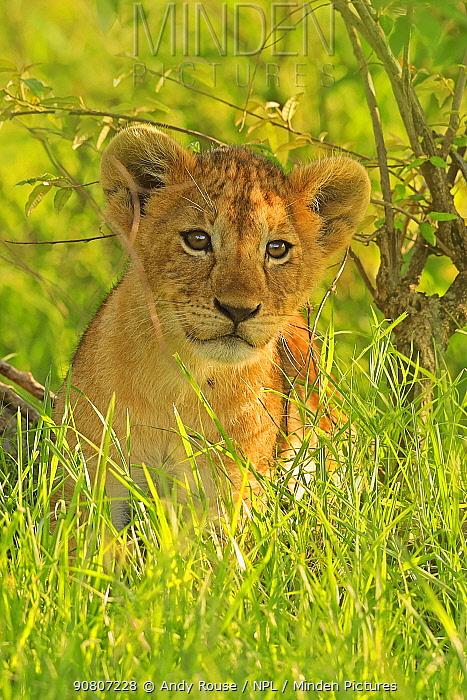 African Lion (Panthera leo) cub age 2 months, Masai Mara, Kenya