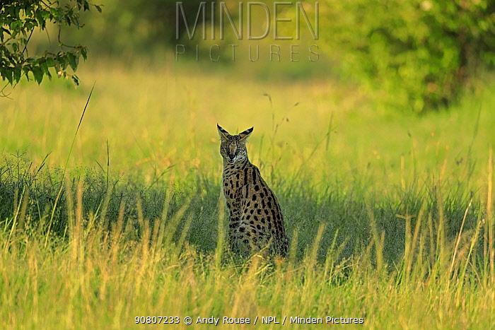 Serval Cat (Leptailurus serval) in grassland, Masai Mara, Kenya