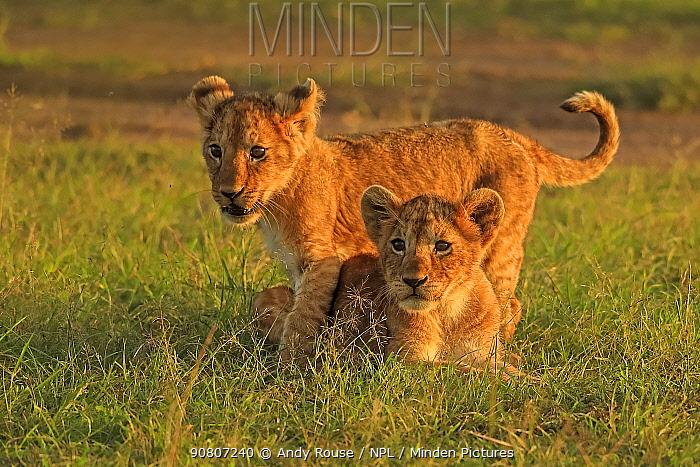 African lion (Panthera leo) cubs age 2 months, Masai Mara, Kenya Medium repro only