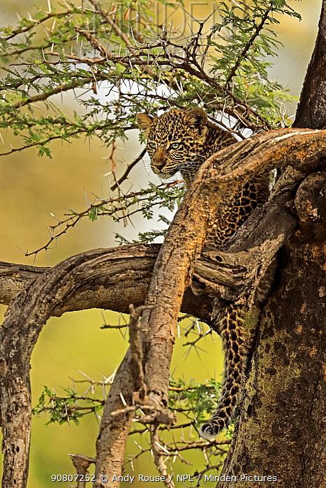 African Leopard (Panthera pardus) young cub (3 months) in tree, Masai Mara, Kenya