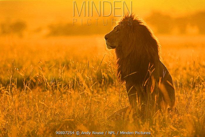 African Lion (Panthera leo) male at sunrise, Masai Mara, Kenya