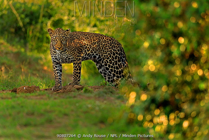 African Leopard (Panthera pardus) female, Masai Mara, Kenya