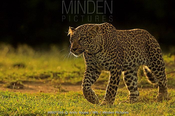 African Leopard (Panthera pardus) female walking, Masai Mara, Kenya
