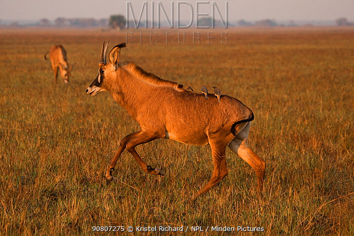 Roan antelope (Hippotragus equinus) running with oxpeckers (Buphagus sp.) on back, Busanga plains, Kafue National Park, Zambia. August.