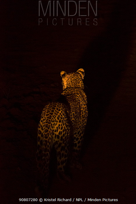 Leopard (Panthera pardus) rear view, standing alert at night, South Luangwa National Park, Zambia. August