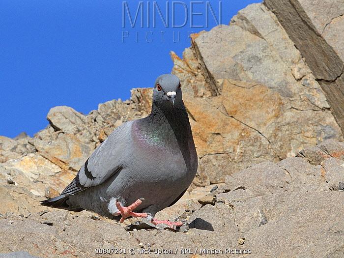 Wild rock dove / Rock pigeon (Columba livia) walking on coastal cliff, Costa de Papagayo, Lanzarote, Canary Islands, February.