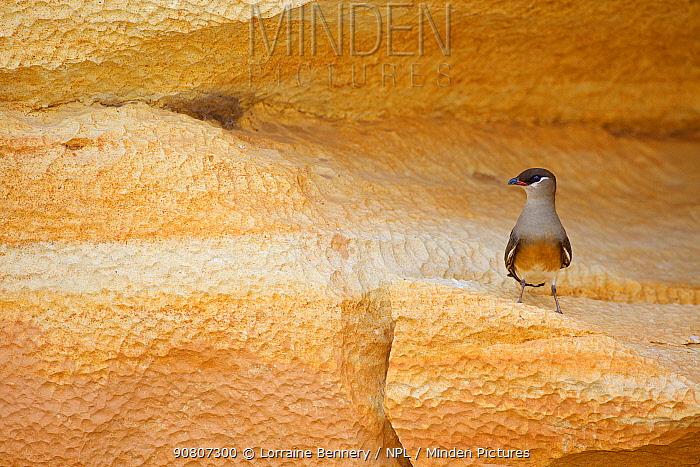 Madagascan Pratincole (Glareola ocularis), perched on rock , Tsingy de Bemaraha National Park, Madagascar, Vulnerable, endemic.