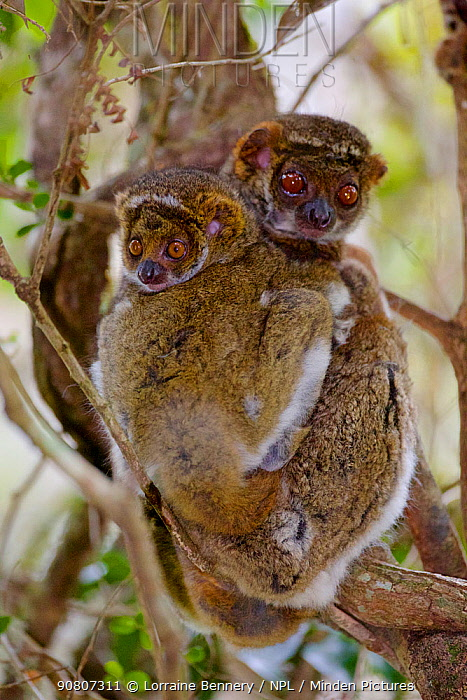 Eastern woolly lemur (Avahi laniger) female and infant huddled in a tree. Anjozorobe Special Reserve, Madagascar, Vulnerable, endemic.