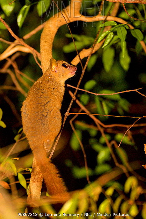 Red-tailed sportive lemur (Lepilemur ruficaudatus), sitting in tree, Kirindy Forest Private Reserve, Madagascar, Vulnerable, Endemic,