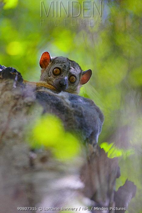 Randrianasolo's Sportive Lemur, (Lepilemur randrianasoloi) sitting in tree, Tsingy de Bemaraha National Park, Madagascar, Endangered, endemic.