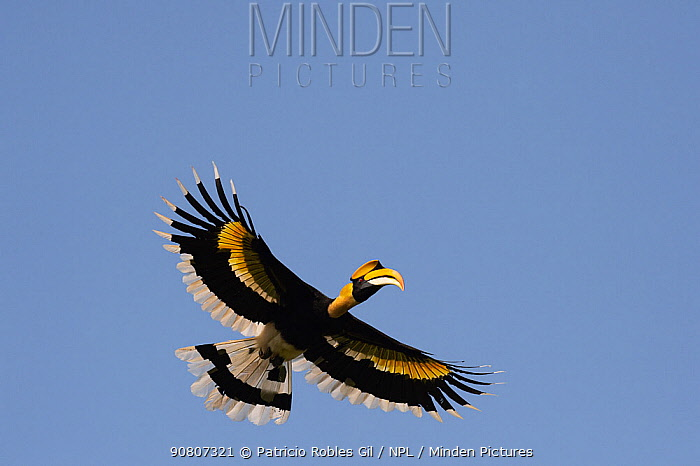 Great hornbill (Buceros bicornis) flying, Kaziranga National Park, Assam, India.