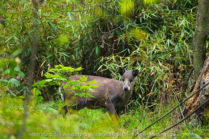Tufted deer (Elaphodus cephalophus), standing near bamboo thicket, ready to dart back inside if threatened. Tangjiahe Nature Reserve, Sichuan province, China.