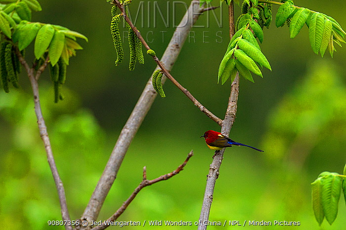 Mrs Gould's sunbird (Aethopyga gouldiae) perched on branch, Tangjiahe Nature Reserve, Sichuan Province, China.