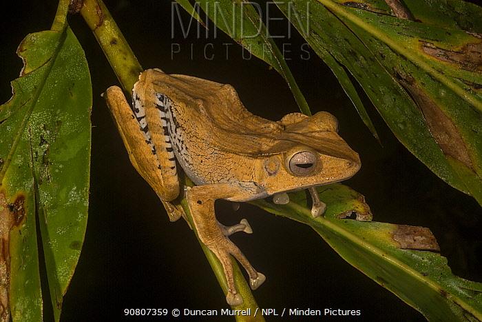 File-eared tree frog / Borneo eared frog (Polypedates otilophus), Danum Valley Conservation Area, Sabah, Malaysian Borneo.