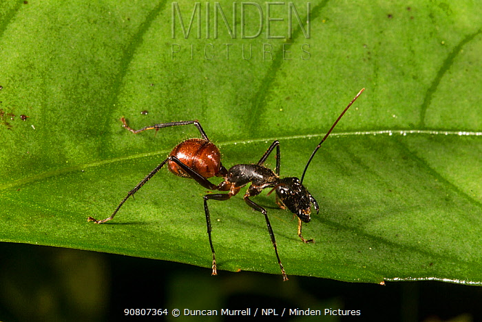 Giant forest ant (Camponotus gigas), Danum Valley Conservation Area, Sabah, Malaysian Borneo.