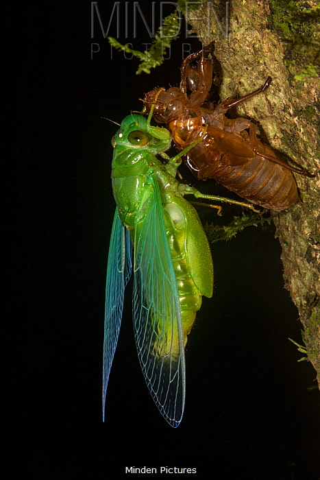 Jade green cicada (Dundubia vaginata) after ecdysis with exuvium, Gunung Mulu National Park, UNESCO World Heritage Site, Sarawak, Borneo.
