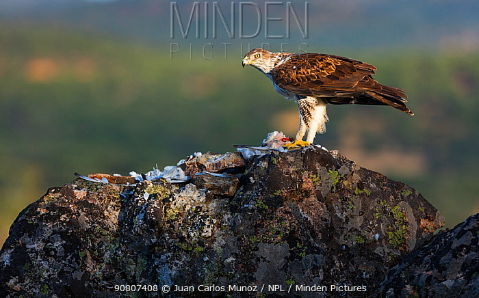 Bonelli's eagle (Aquila fasciata) feeding on bird prey, Sierra de San Pedro, Extremadura, Spain.