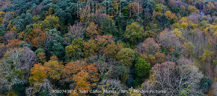 Aerial view of canopy of evergreen Holm Oak (Quercus ilex) forest, with other deciduous oak species. Tarrueza, Liendo Valley, Cantabria, Spain, December