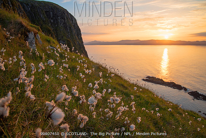 Cotton grass (Eriophorum angustifolium) growing on Garbh Eilean with the Isle of Lewis behind, Shiant Isles, Outer Hebrides, Scotland, UK. June.