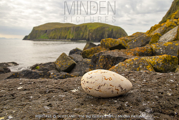 Replica Great auk (Pinguiunis impennis) egg, at location of probable historic breeding site, Shiant Isles, Outer Hebrides, UK. June.