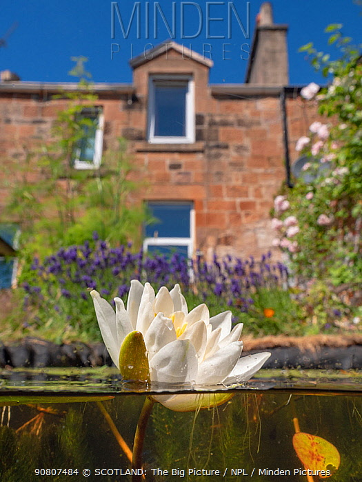 Flowering native water lily (Nympaea alba) in an urban garden wildlife pond, Scotland, UK. June.