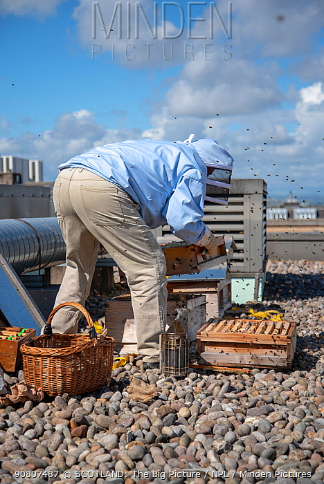 Urban beekeeper Ed O'Brien inspecting hive on top of Blythswood Square Hotel in the city centre, Glasgow. August, 2018.