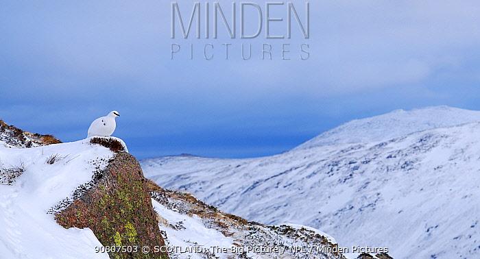 Ptarmigan (Lagopus muta) resting at the head of Strathspey, Cairngorms National Park, Scotland, UK. January.