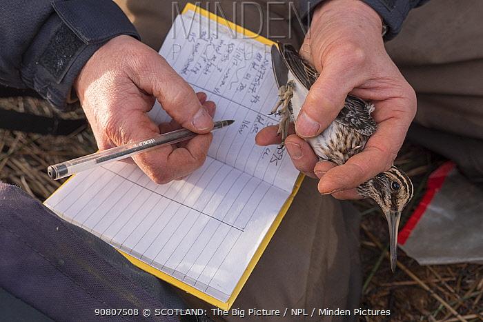 Bird ringing study of Jack snipe (Lymnocryptes minimus) migration, Glasgow, Scotland, UK, December.