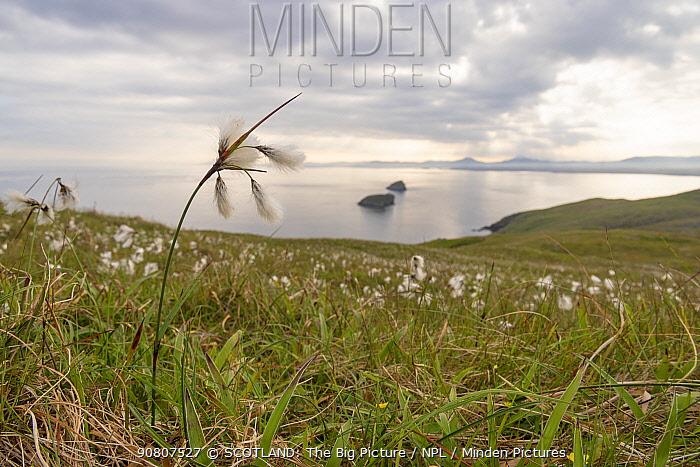 Cotton grass (Eriophorum angustifolium) growing on Garbh Eilean, Shiant Isles, Outer Hebrides, Scotland, UK. June, 2018
