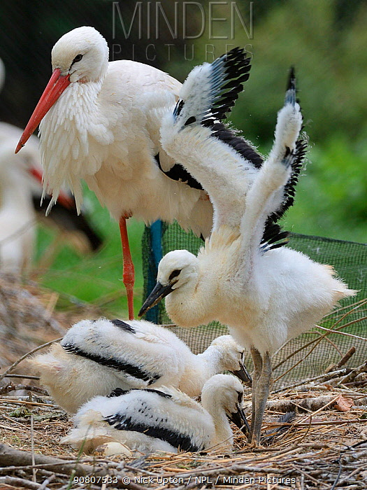 White stork (Ciconia ciconia) chick standing and wing flapping in nest beside two siblings and a parent. In captive breeding colony raising young birds for UK White Stork reintroduction project at the Knepp Estate. Cotswold Wildlife Park, Oxfordshire, UK, May 2019. Property released.