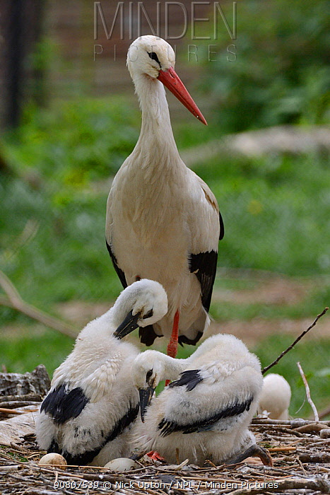 White stork (Ciconia ciconia) standing beside its two preening chicks. In captive breeding colony raising young birds to supply UK White Stork reintroduction project at the Knepp Estate. Cotswold Wildlife Park, Oxfordshire, UK, May 2019. Property released.