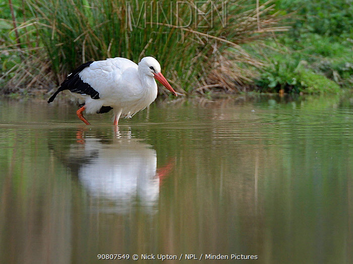 White stork (Ciconia ciconia) wading in a pond within a large outdoor enclosure ahead of release, Knepp estate, Sussex, UK, April 2019.
