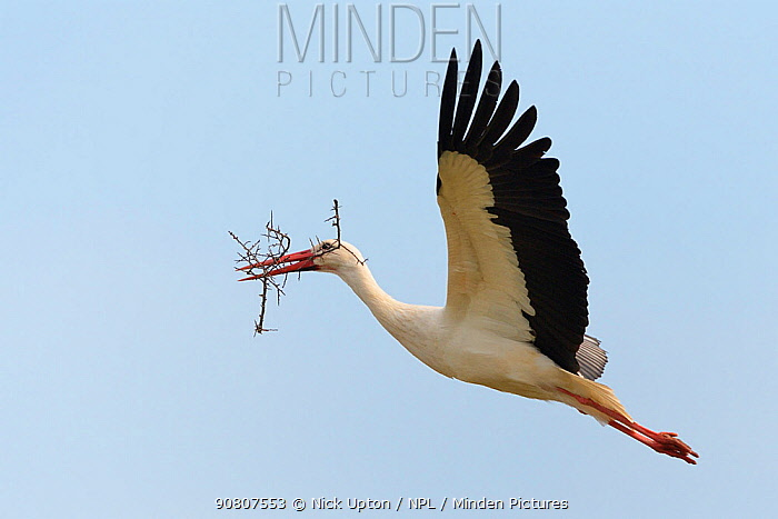 White stork (Ciconia ciconia) male flying with nest material, Knepp estate, Sussex, UK, April 2019. This is the first recorded instance of White storks nesting in the UK for several hundreds of years.