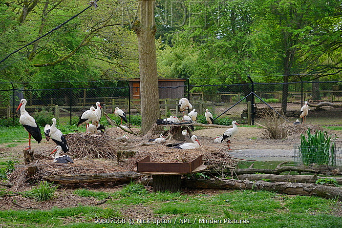 White stork (Ciconia ciconia) captive breeding colony raising chicks for UK White Stork reintroduction project at the Knepp Estate. Cotswold Wildlife Park, Oxfordshire, UK, April 2019. Property released.