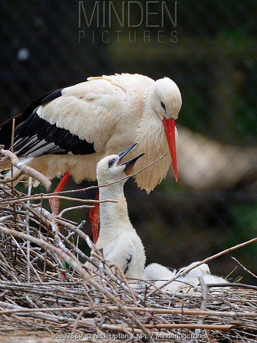 White stork (Ciconia ciconia) chick begging from a parent on its nest. In captive breeding colony raising young birds for UK White Stork reintroduction project at the Knepp Estate. Cotswold Wildlife Park, Oxfordshire, UK, May 2019. Property released.