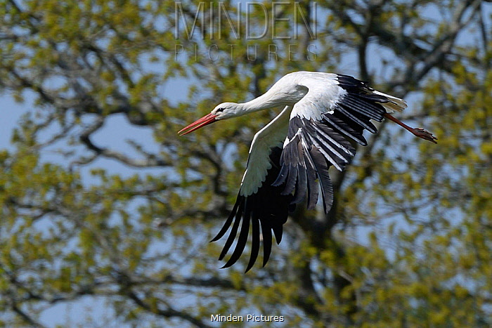 White stork (Ciconia ciconia) flying past Oak trees, Knepp estate, Sussex, UK, April.