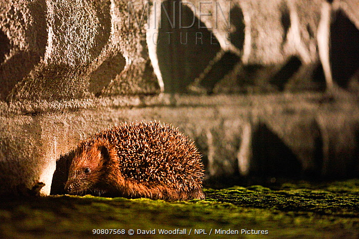 Hedgehog (Erinaceus europaeus) blocked from entering an urban garden by wall, Wales, UK. August. Small repro only.