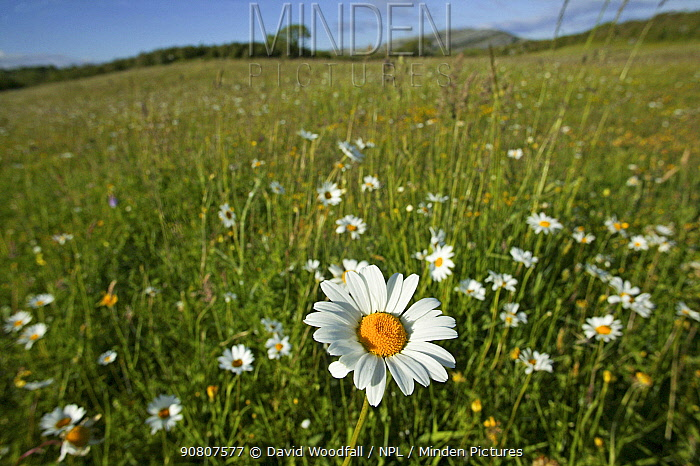 Ox-eye daisies (Leucanthemum vulgare) in grassland, Burren National Park, Republic of Ireland. June 2012.