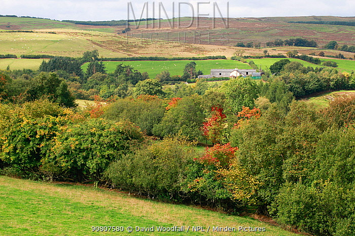 Hedges and trees in fields, part of the Pontbren Project, Banwy Valley, Wales, UK. September 2017.