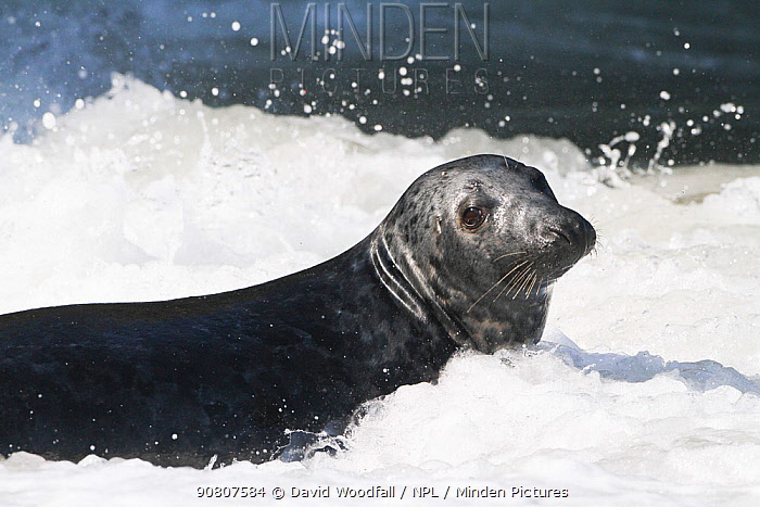 Grey seal bull (Halichoerus grypus) in surf, Little Orne, Conwy, Wales, UK. March.