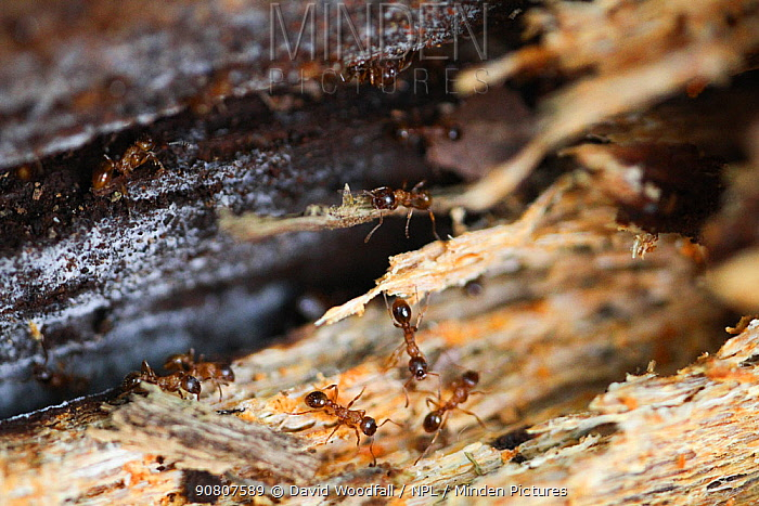 Brown tree ants (Lasius brunneus) in rotting wood, Epping Forest, Essex, UK. May.