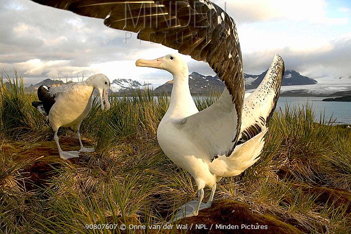 Wandering albatrosses (Diomedea exulans) performing courtship dance, Albatross Island, South Georgia.