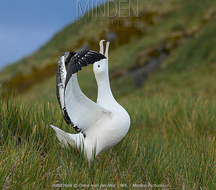 Wandering albatross (Diomedea exulans) performing courtship display, South Georgia.