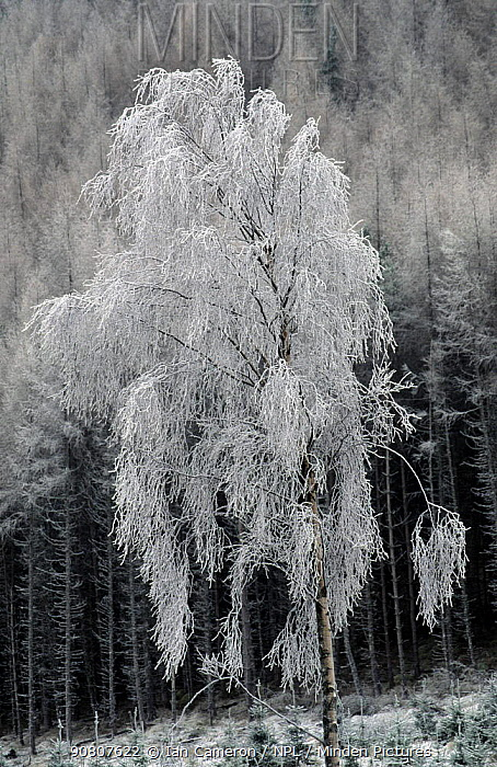 Hoar frost on birch trees in Fort Augustus. Highlands, Scotland