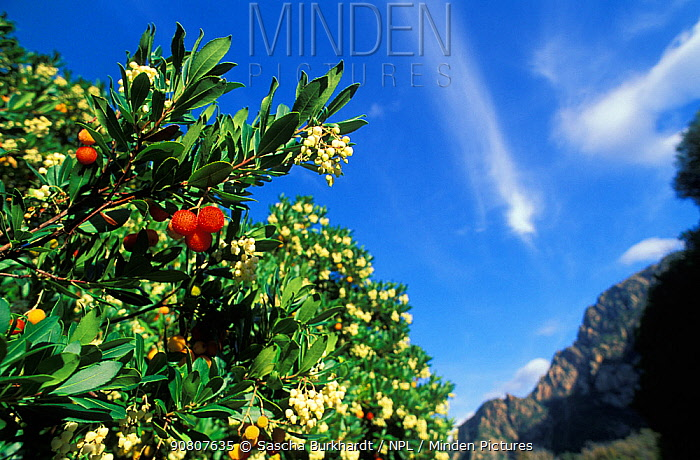Strawberry tree (Arbutus unedo) with flowers and fruits, Corsica.