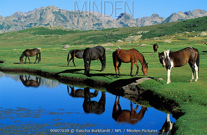 Horses on the edge of the glacial Lake Ninu, Corsica. The lake is at an altitude of 1,700 metres and is part of the route of the famous GR20 hiking trail that crosses the mountains of Corsica.